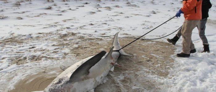 بالصور..أسماك القرش تتجمد على سواحل أمريكا بعد انخفاض درجة حرارة المحيط الأطلنطي
