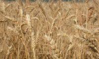 هيئة السلع المصرية تشترى 300 ألف طن من القمح في مناقصة عالمية
