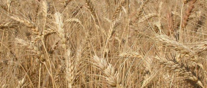 وزارة الزراعة الأمريكية تتوقع دفع مصر زيادة 80 مليون دولار  لاستيراد القمح