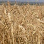 الأمارات والسعودية يقدمان 540 ألف طن من القمح لتلبية احتياجات السودان