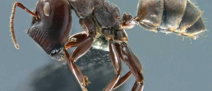 """اكتشاف فصيلة جديدة من """"النمل الانتحاري"""""""
