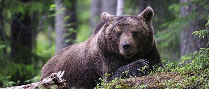 بالفيديو.. مجموعة من الدببه تهاجم مقبرة في روسيا