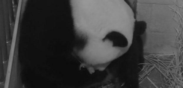 باندا عملاقة قد تكون حبلى في حديقة الحيوانات في واشنطن