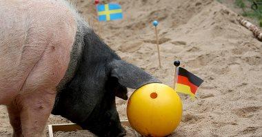"""الخنزير """"هارى"""" يتنبأ بنتيجة مباراة ألمانيا والسويد فى كأس العالم"""