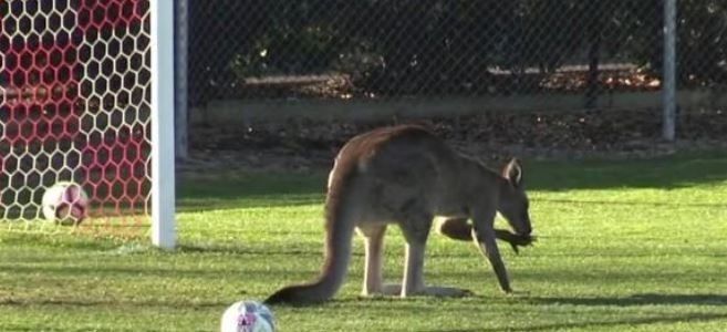كنغر يصر على المشاركة في مباراة كرة قدم في استراليا