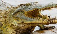 أسترالي ينجو بأعجوبة من فكي تمساح