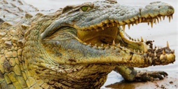 نيجيريون يعبدون تمساحا عمره 75 عاماً
