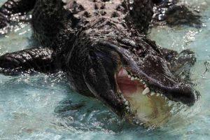 تمساح يلتهم طفلا فى العاشرة من عمره خلال عبوره نهر غرب الفلبين