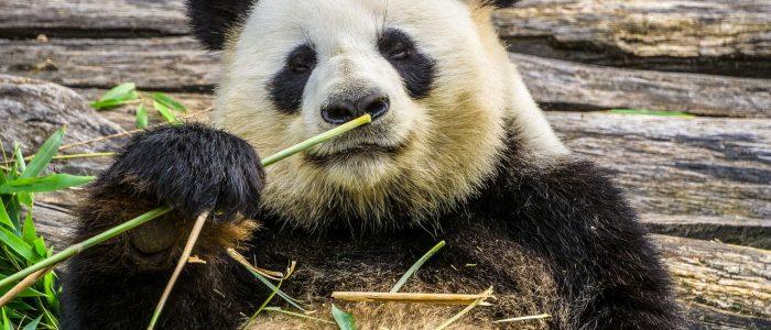 """الصين تحتفل بأول أسبوع عالمي ل """"ثقافة الباندا"""""""