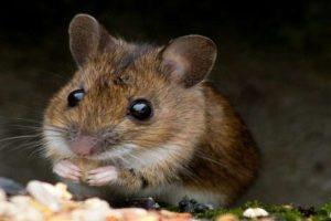 عالم من أصول عربية يقضي على الإيدز لدى الفئران