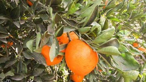 مصر بالمرتبة الأولى عالميًا في تصدير البرتقال