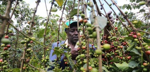 التايمز: القهوة مهددة بخطر الزوال من العالم