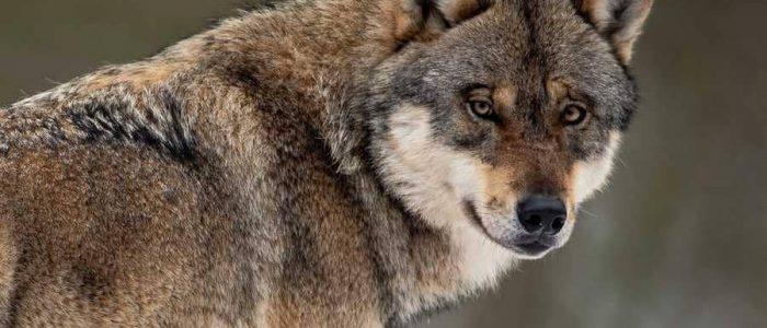 أنقذا كلباً من التجمد ولكن وجده ذئباً