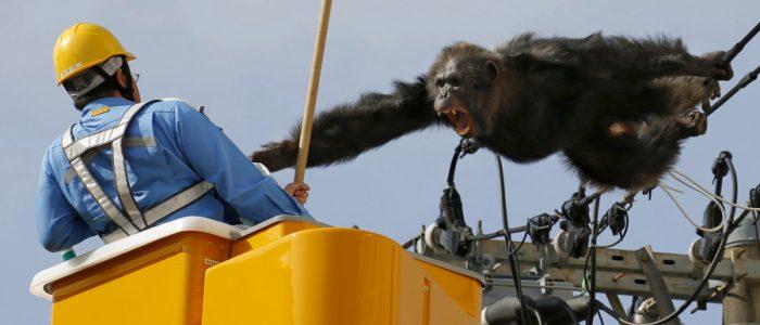 خطة ذكية من قرود شمبانزي للهروب من حديقة حيوان
