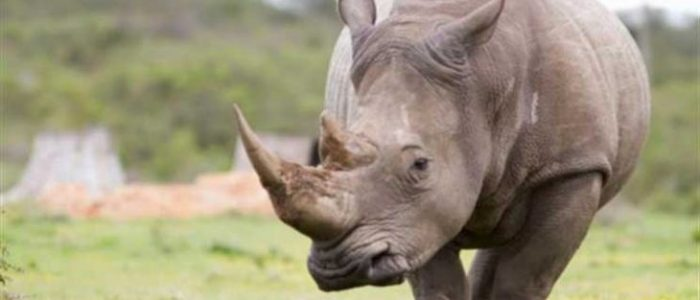 وحيد قرن نادر يقتل صيادا في نيبال