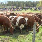 """""""البقر السعيد"""" يجذب الآلاف في مراعي السويد"""