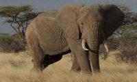 قتل فيل بوحشية يثير غضبا عارما في كينيا