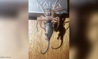 عنكبوت يصطاد فأرا ويلتهمه