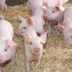السجن لمزارعين أستراليين استوردا السائل المنوي للخنازير في زجاجات شامبو