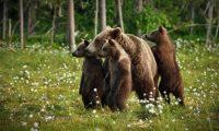 عائلة من الدببة تجتاح مدينة روسية