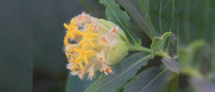 """نبات """"جنيديا جلوكا"""" تعالج السمنة"""
