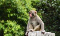 قرود تسرق عينات دم مرضى كورونا في الهند