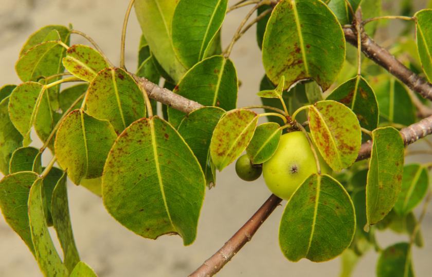 ثمرة مانشينيل