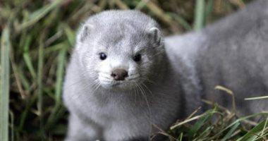 الدنمارك تبدأ فى إعدام 2.5 مليون حيوان منك بسبب كورونا
